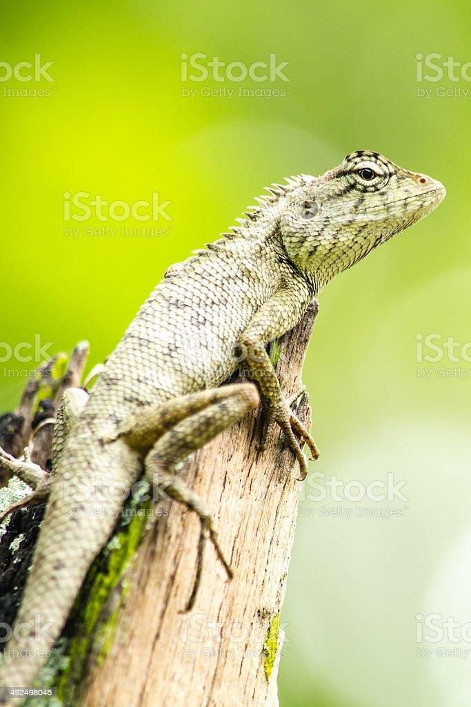 calotes emma alticristatus is spcies name of reptile stock photo