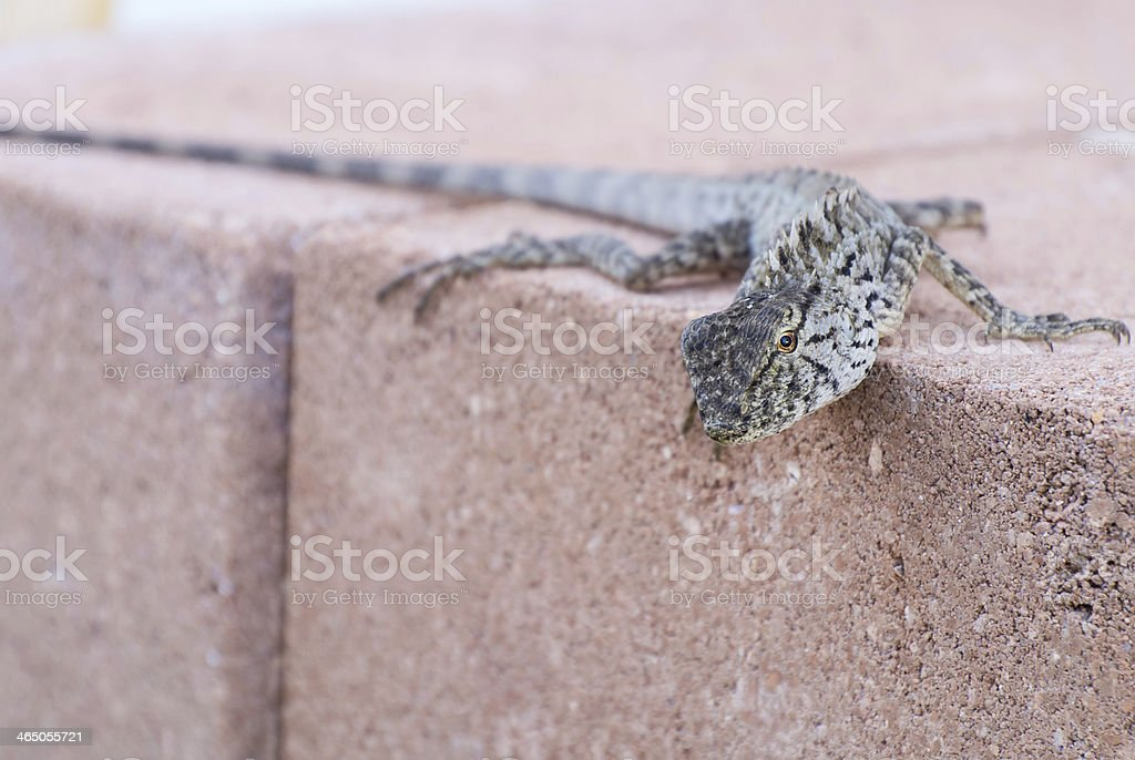 Calotes versicolo hang on brick in park stock photo