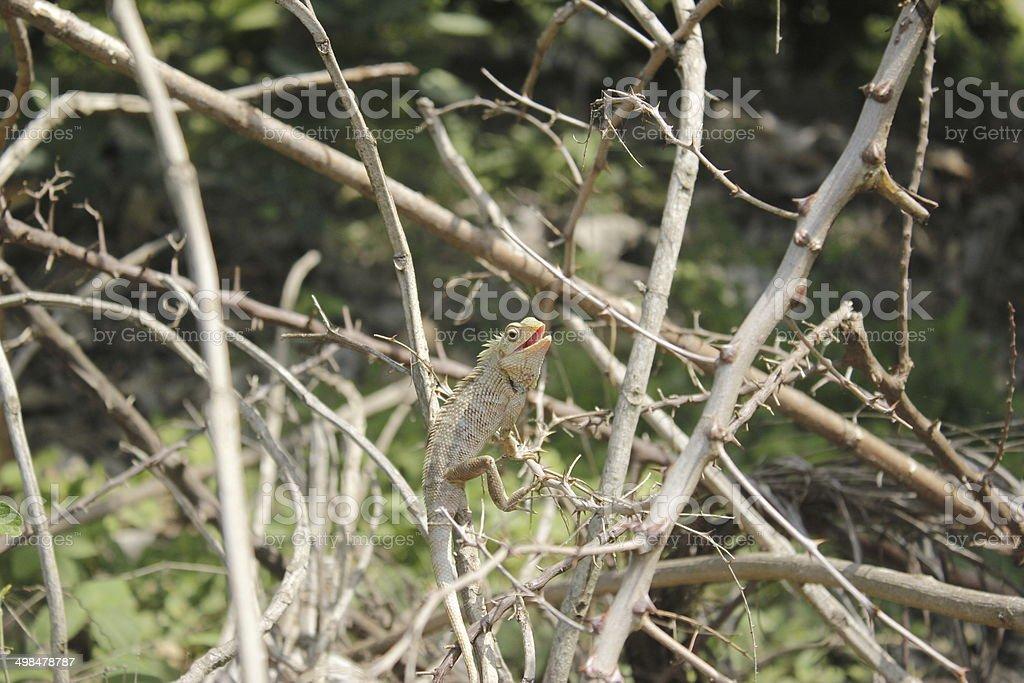 Calotes Versicolor stock photo