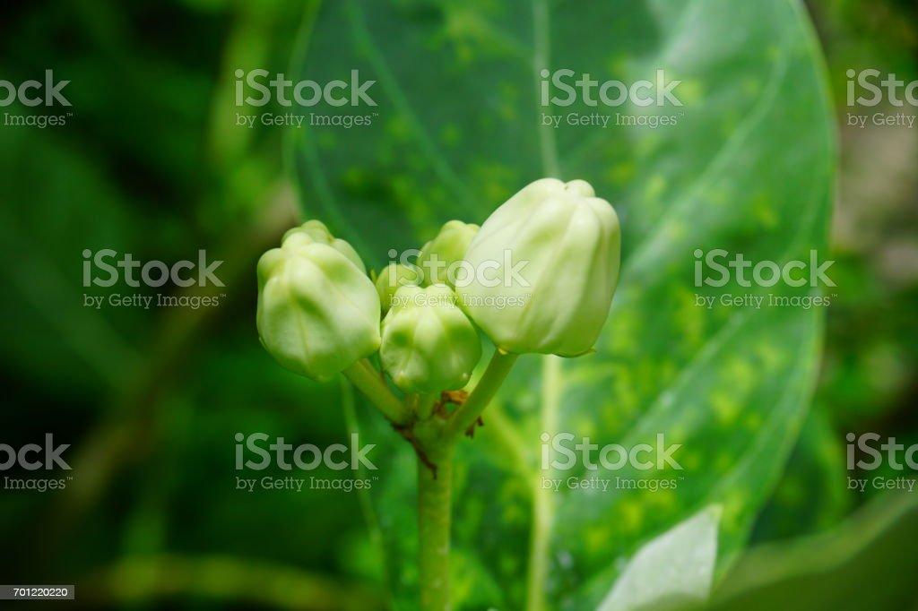 Calotropis gigantea flower stock photo