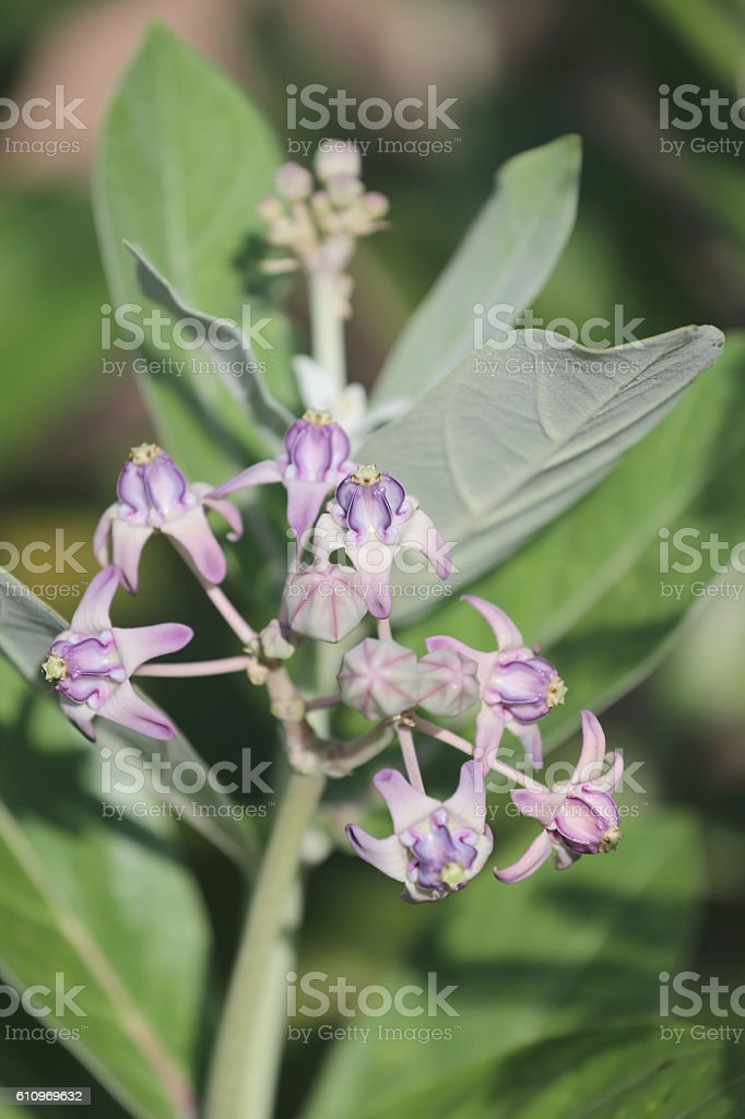 Calotropis gigantea or crown flower and bloom on tree. stock photo