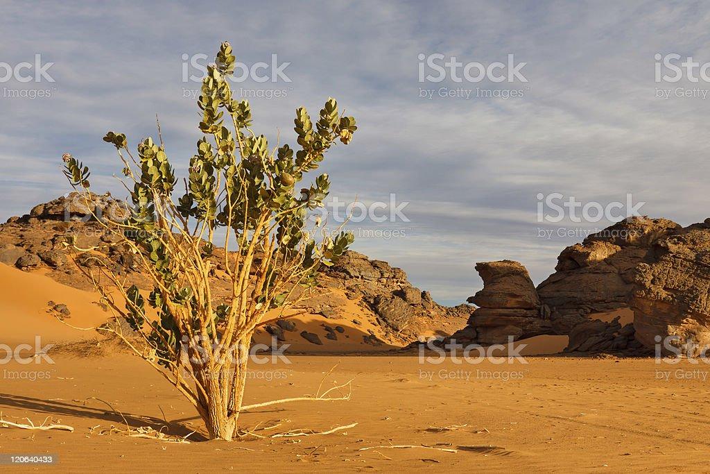 Calotropis Procera - Akakus (Acacus) Mountains, Sahara, Libya stock photo