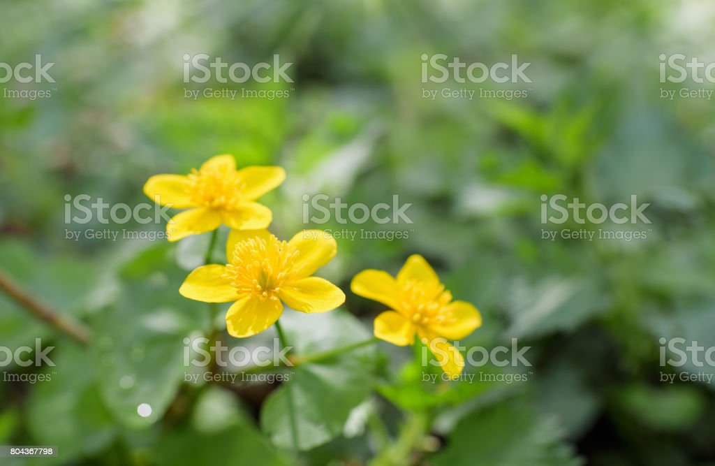 Caltha palustris, known as marsh-marigold and kingcup stock photo