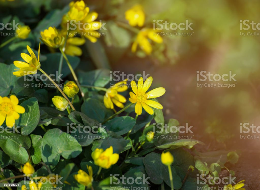 Caltha palustris, or Kingcup or Marsh Marigold in late afternoon sunlight. stock photo