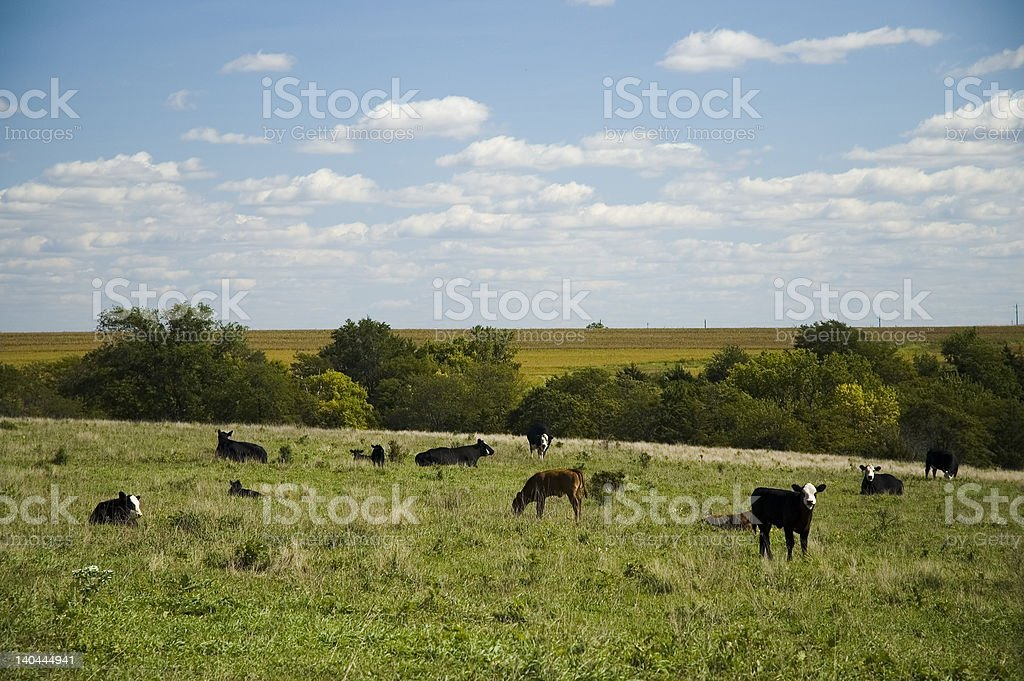 Calves at Pasture royalty-free stock photo