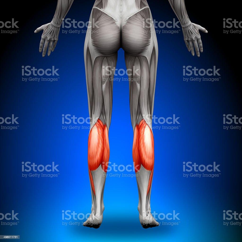 Calves - Female Anatomy Muscles stock photo