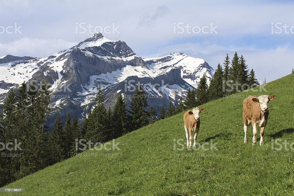 Calves in front of the Oldenhorn royalty-free stock photo