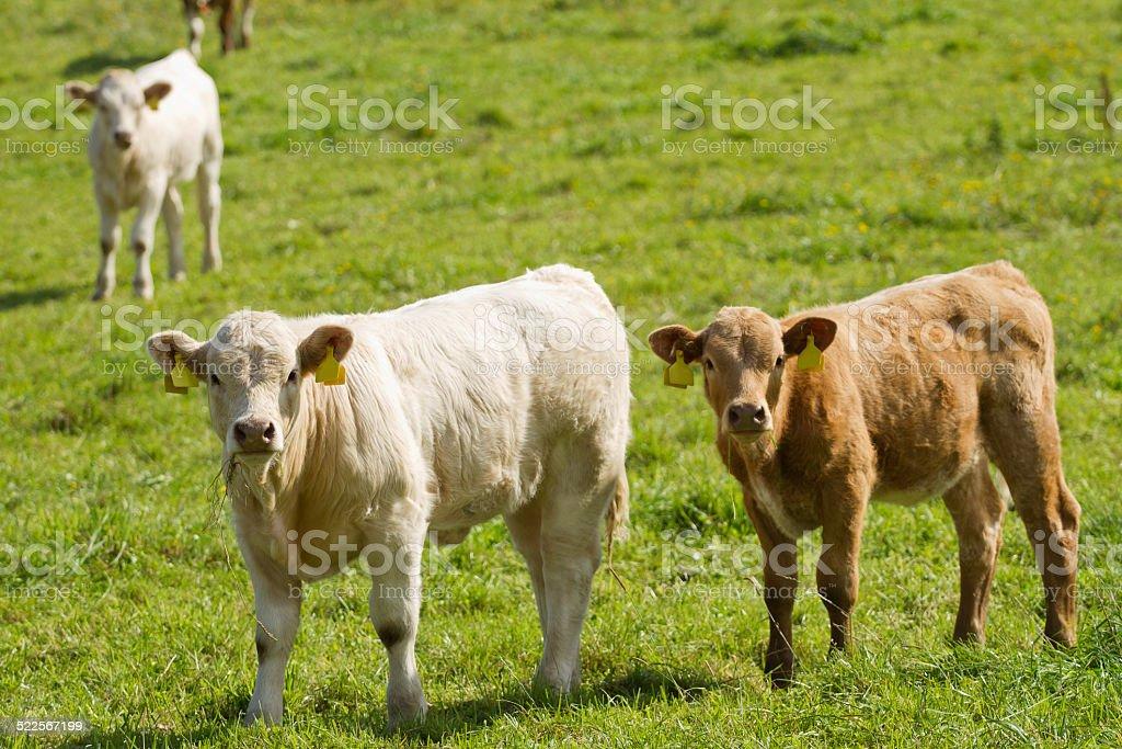 Calves on pasture stock photo