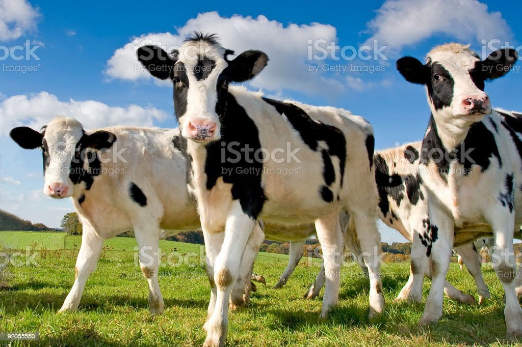 Calves on the field royalty-free stock photo