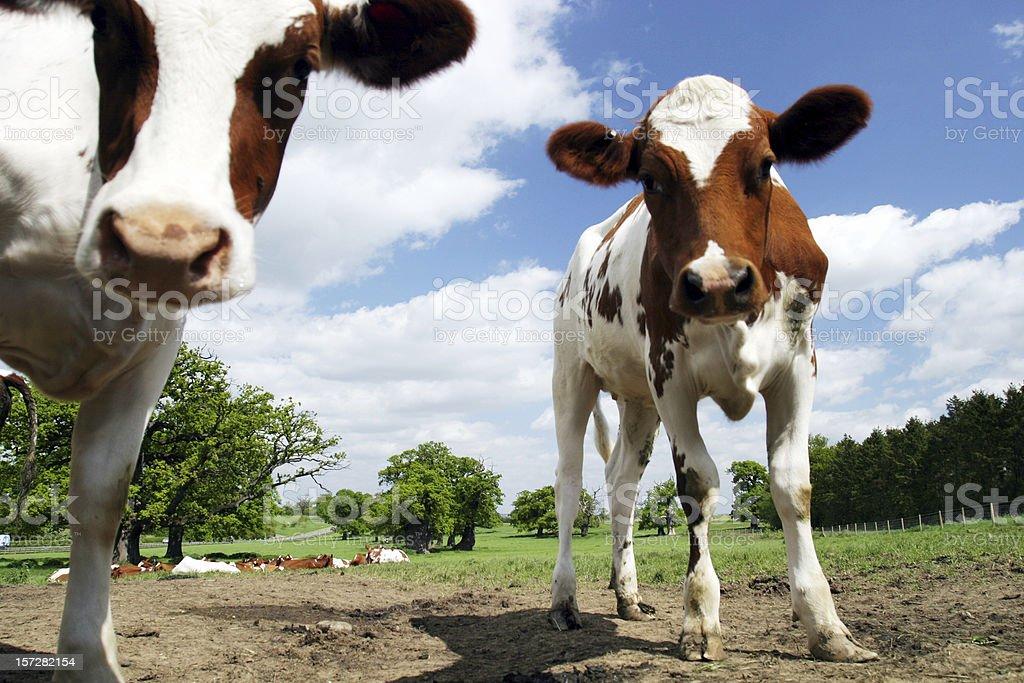 Calves staring royalty-free stock photo