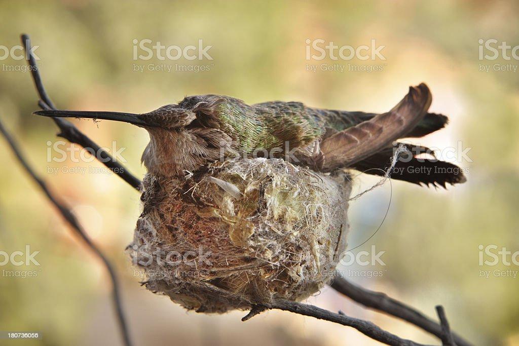 Calypte anna Hummingbird Female Nesting royalty-free stock photo