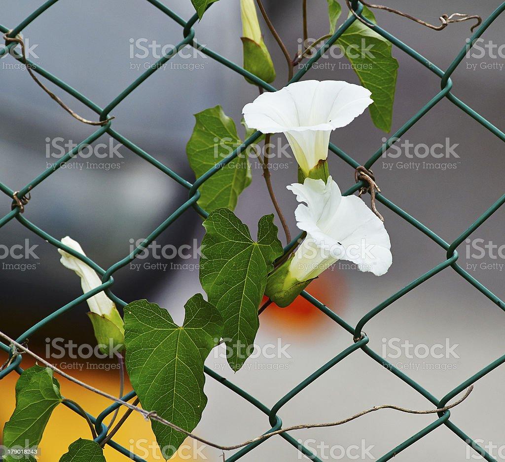 calystegia sepium stock photo