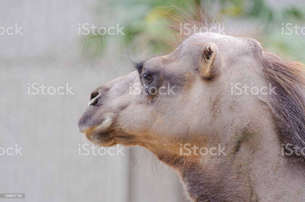 Camal looks bald royalty-free stock photo