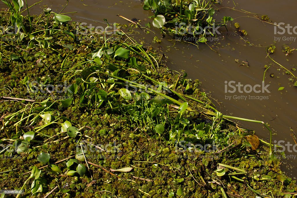 camalotes in the river stock photo