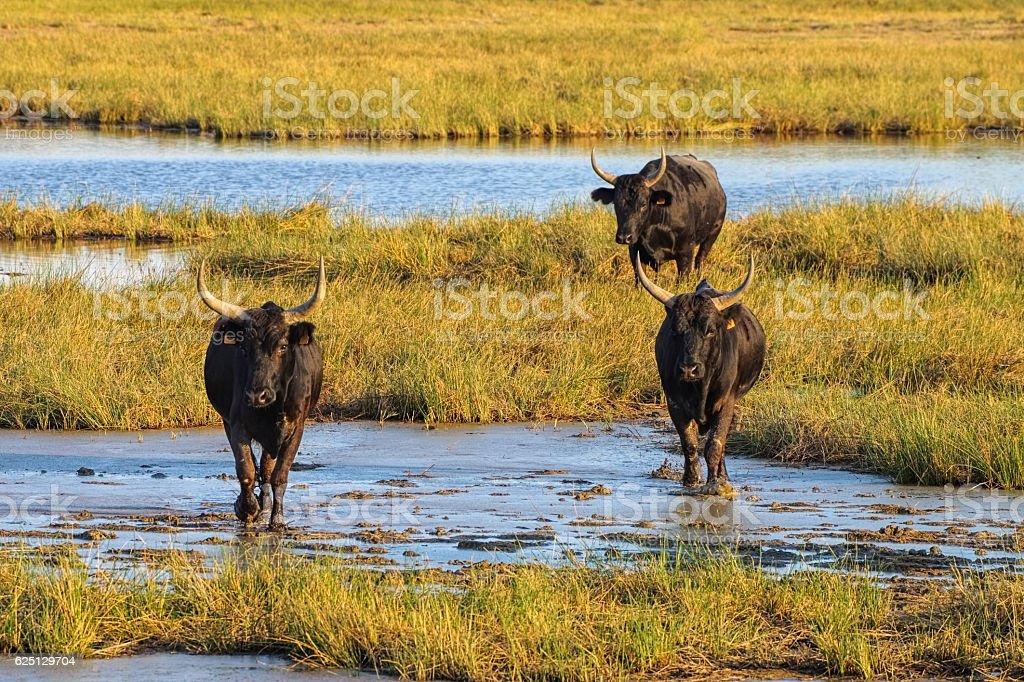 Camarguais bulls in swamp, France stock photo