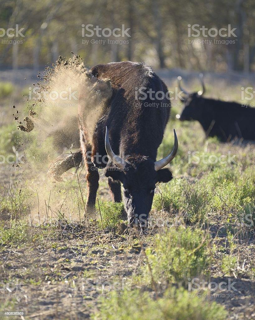 Camargue bull (Taureau de Camargue ) - France stock photo