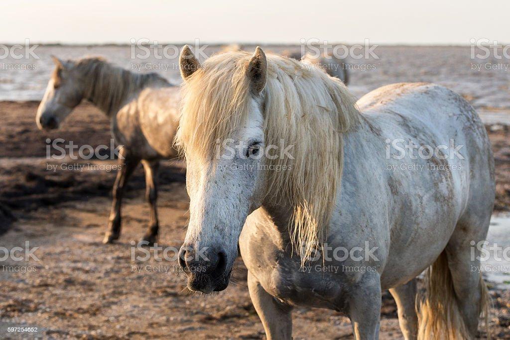 Camargue, cavalli selvaggi stock photo