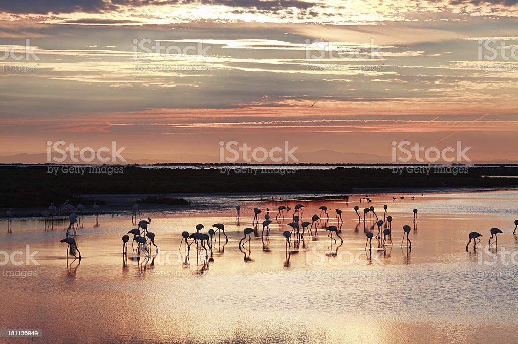 Camargue flamingos, France royalty-free stock photo