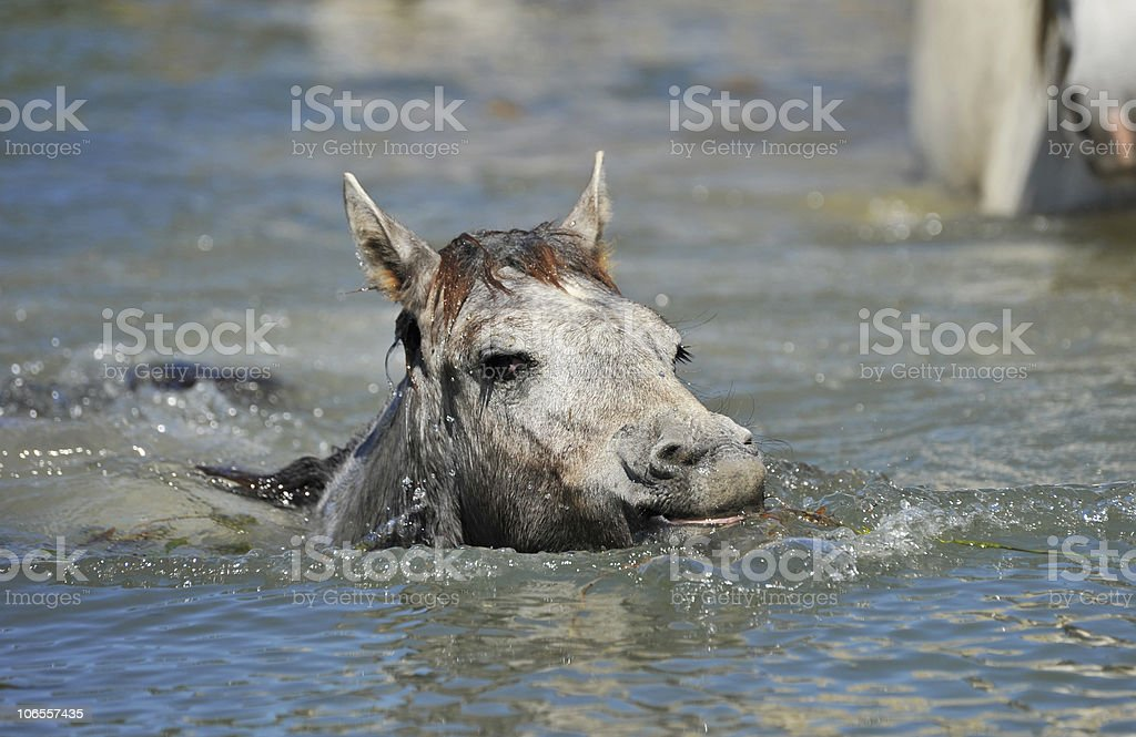Camargue foal in the water royalty-free stock photo