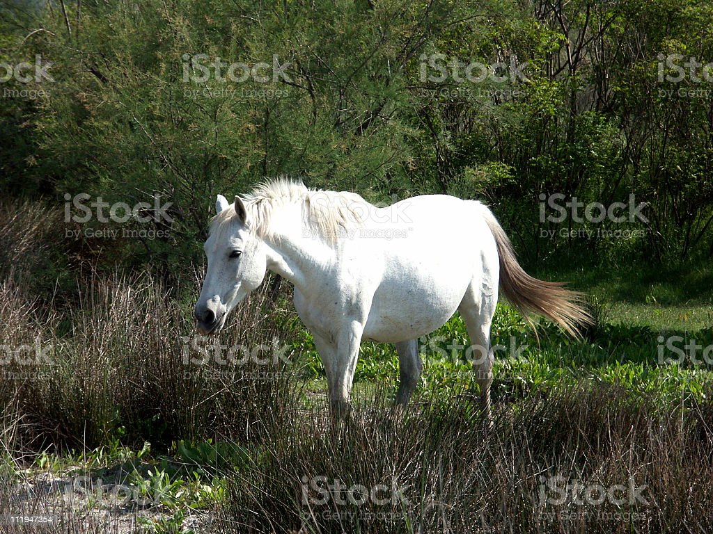 Camargue horse royalty-free stock photo