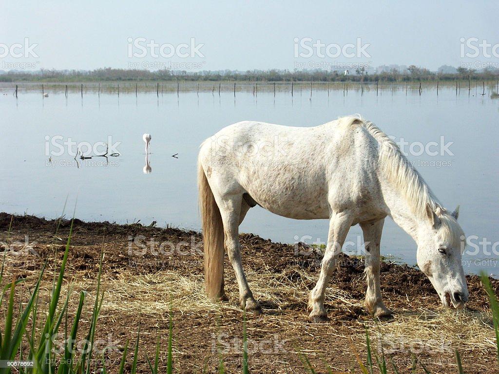 Camargue horse royalty-free stock photo