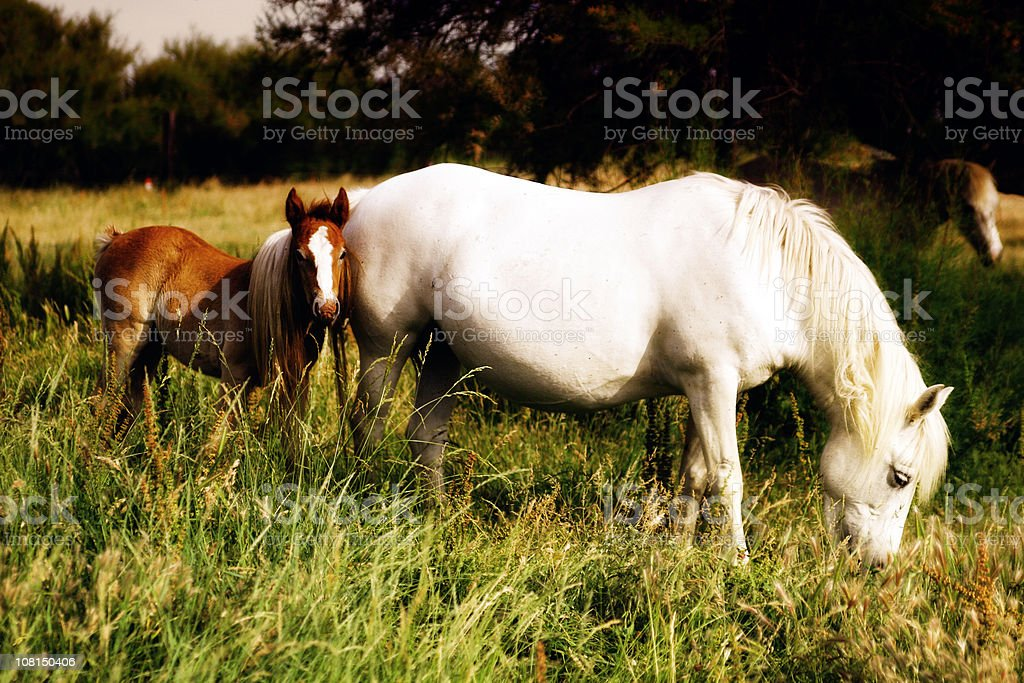 Camargue Horses: A Mare and Foal royalty-free stock photo