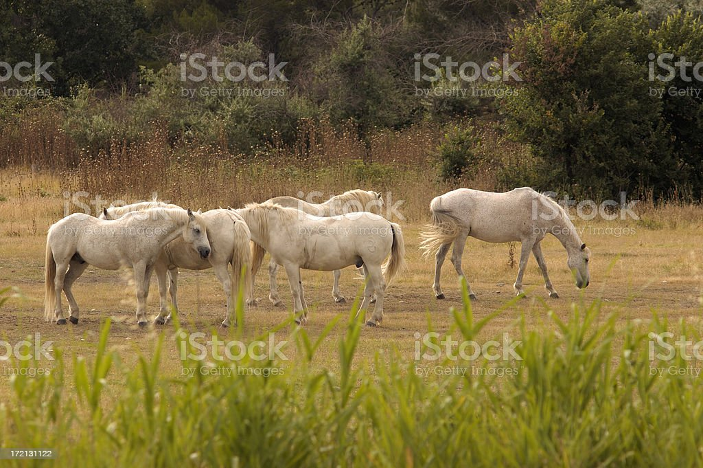 Camargue Horses in Provence, France. royalty-free stock photo