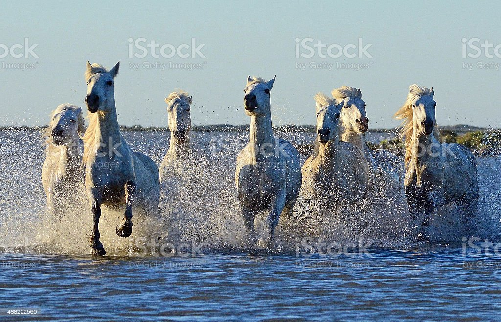 Camargue Horses stock photo