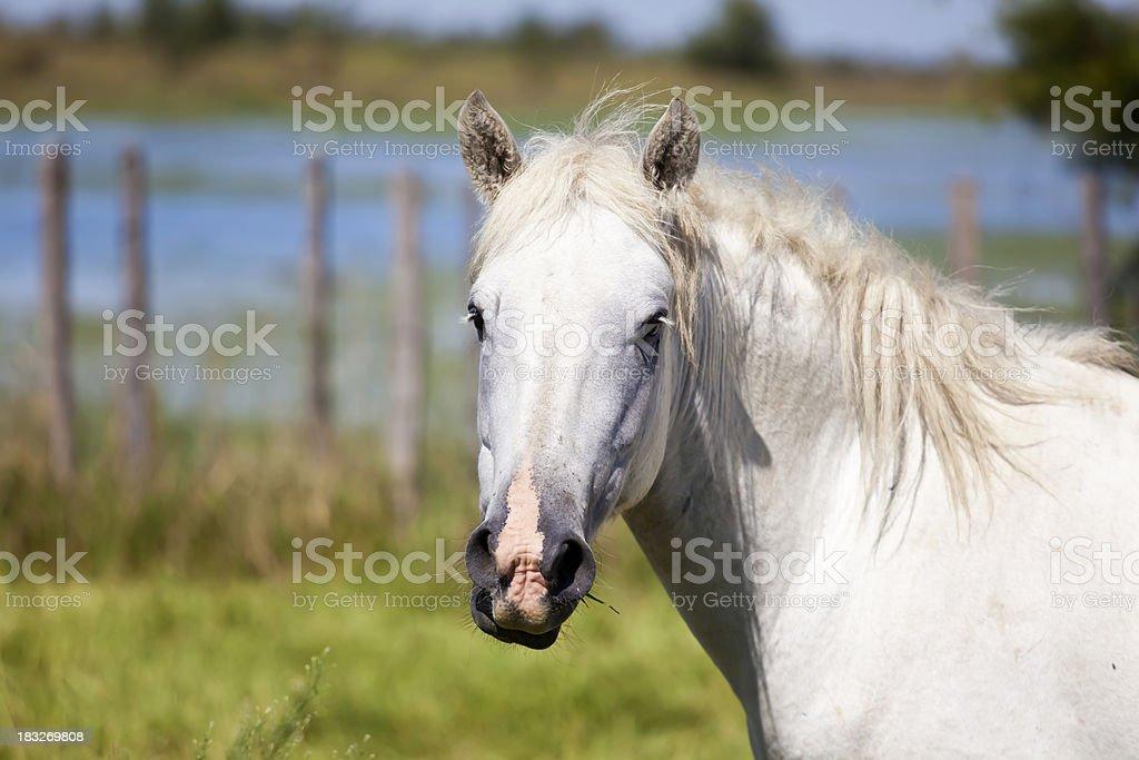 Camargue Wild Horse stock photo