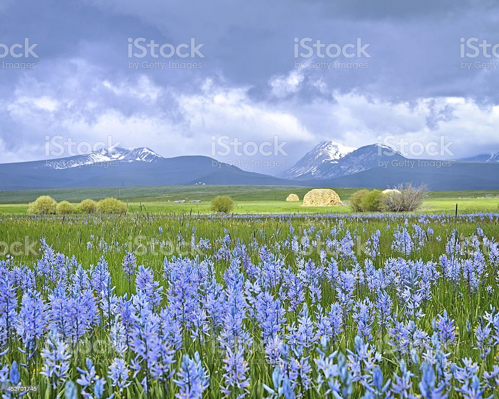 Camas flowers before the Storm stock photo