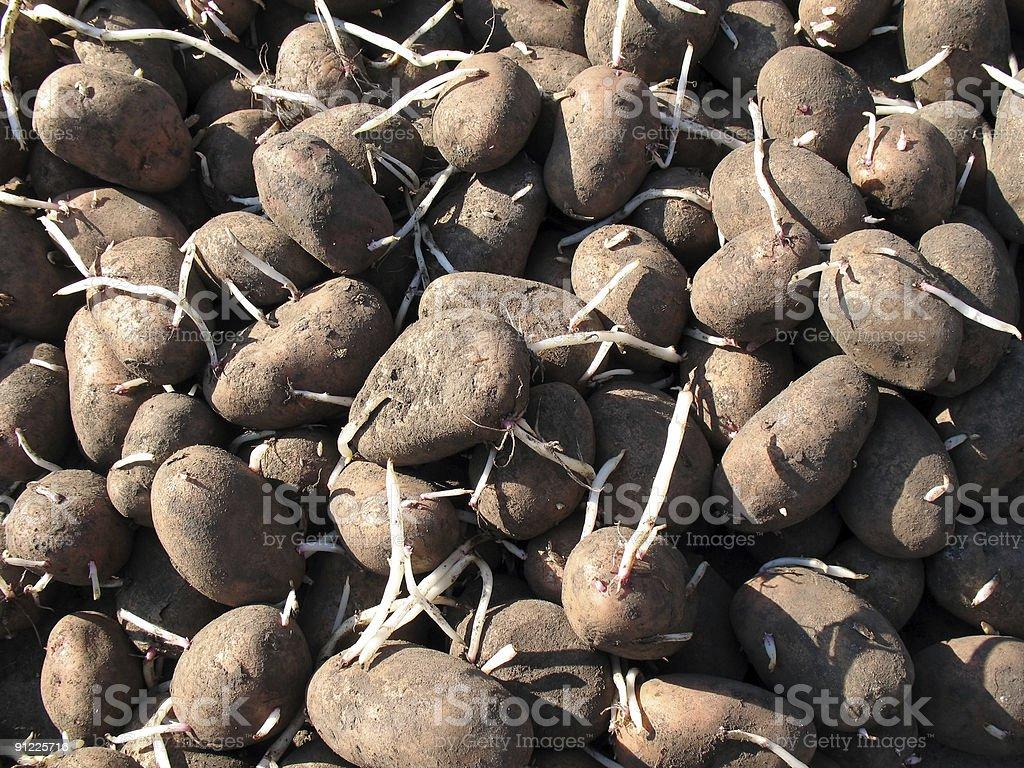 Came up potato. royalty-free stock photo