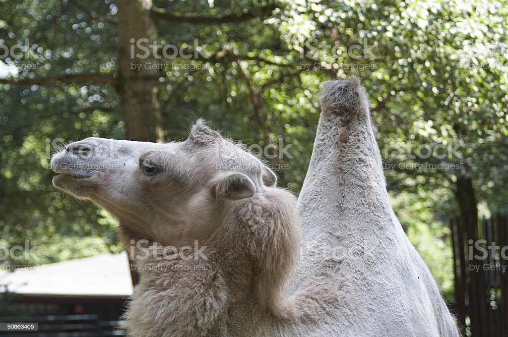 Camel 2 royalty-free stock photo