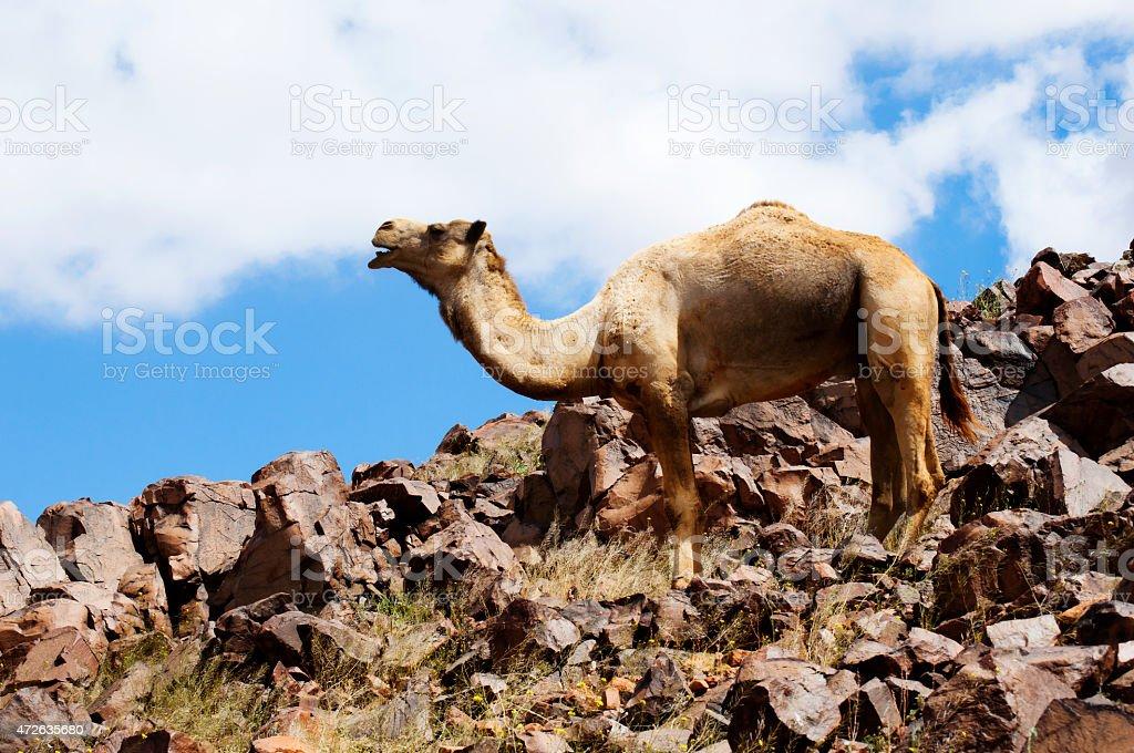 camel and desert stock photo