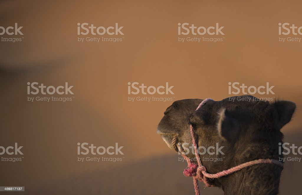 Camel and dunes stock photo