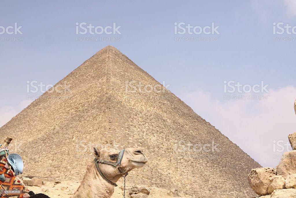 Camel and great pyramid at Giza stock photo