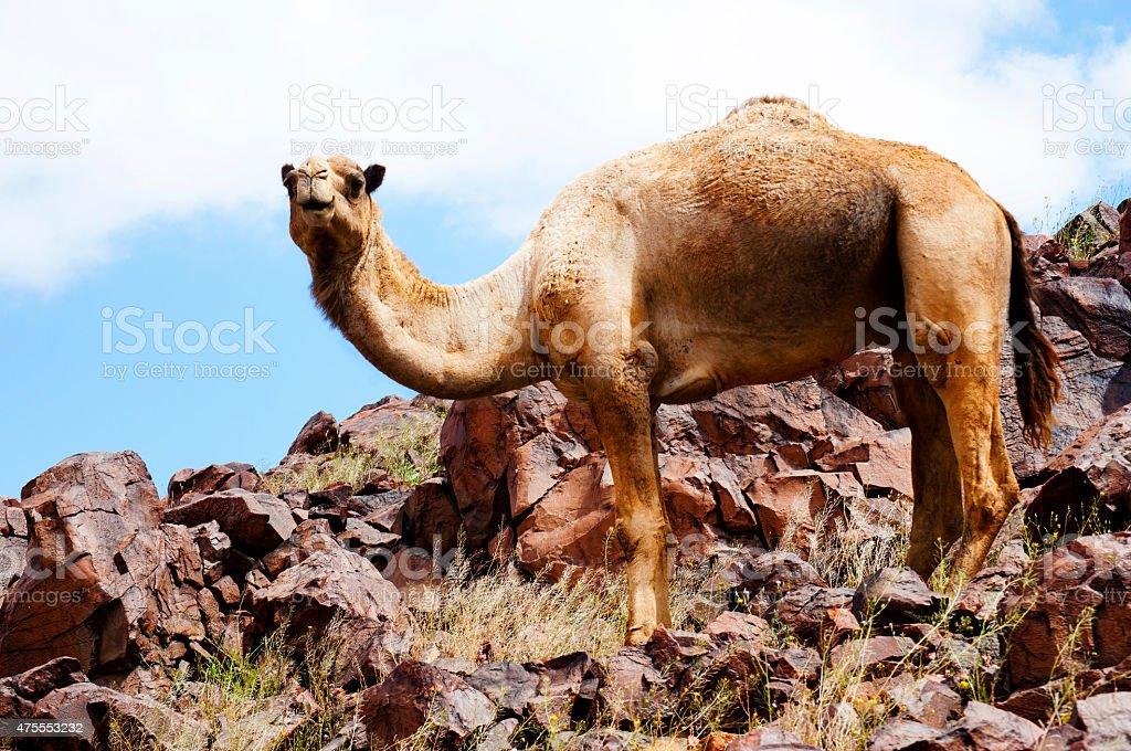 camel and sahara stock photo