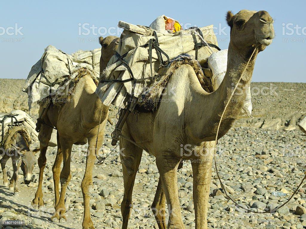 camel and salt stock photo