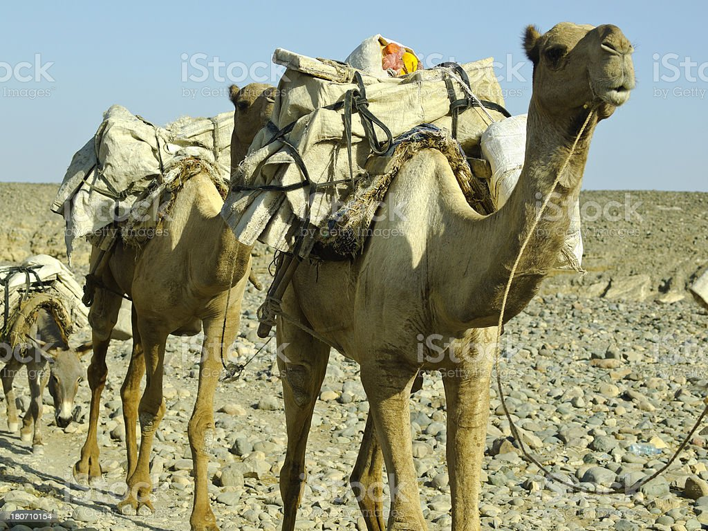 camel and salt stock photo