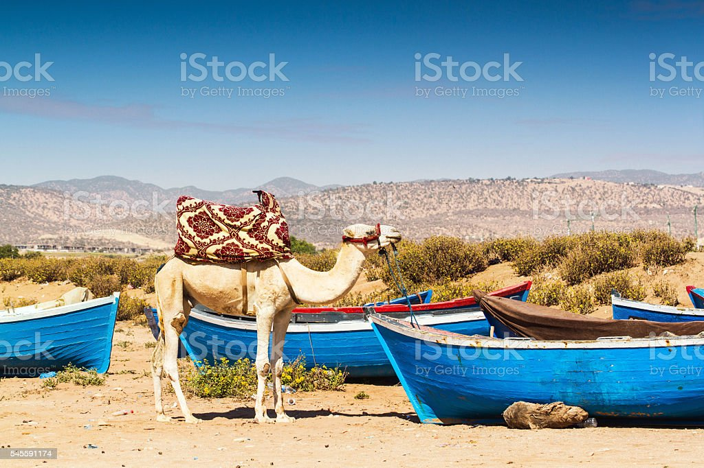Camel and the boats stock photo