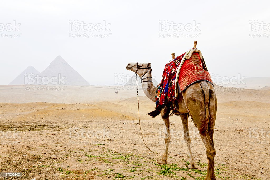 camel and the great pyramids royalty-free stock photo