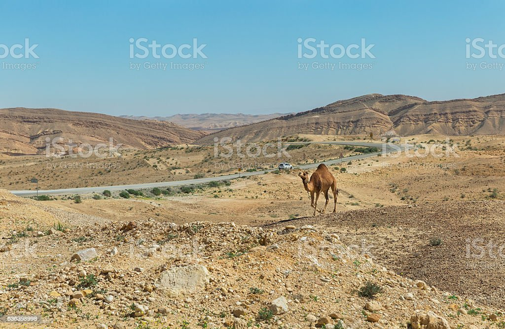 camel and the road in the Negev desert stock photo