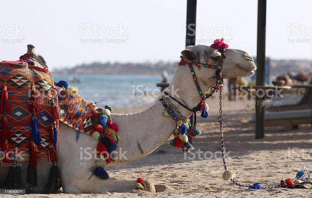 Camel as a turist`s attraction royalty-free stock photo