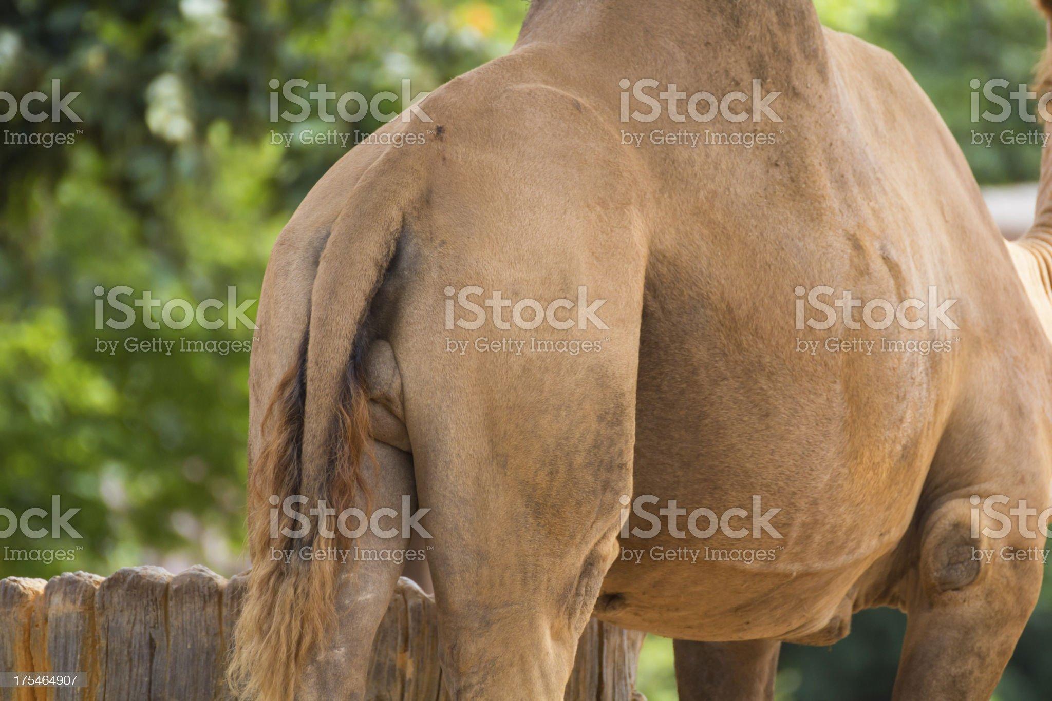 Camel ass royalty-free stock photo