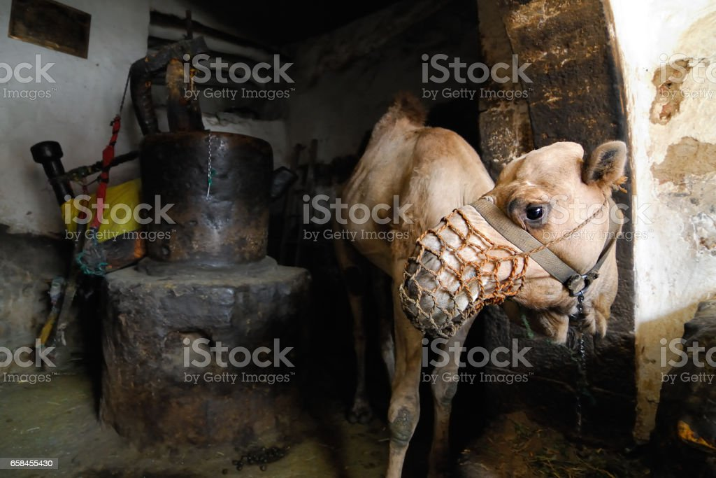 Camel at creamery, Yemen stock photo