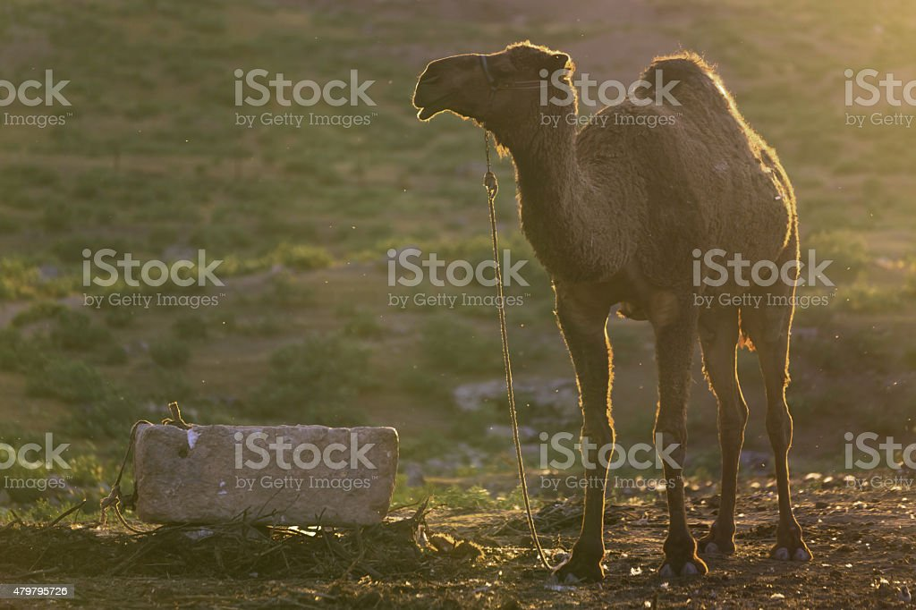 Camel at Harran city, Turkey stock photo