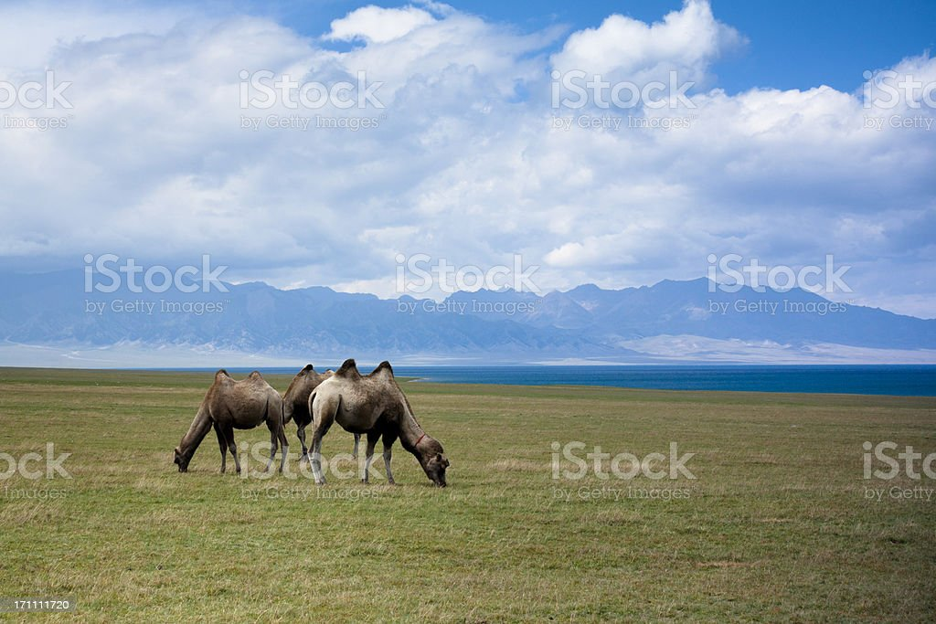 camel at meadow royalty-free stock photo