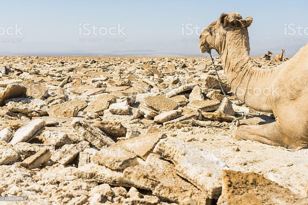 Camel at the Ass Ale Salt lake stock photo