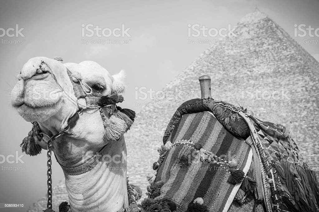 Camel at the Great Pyramid of Giza in Egypt stock photo