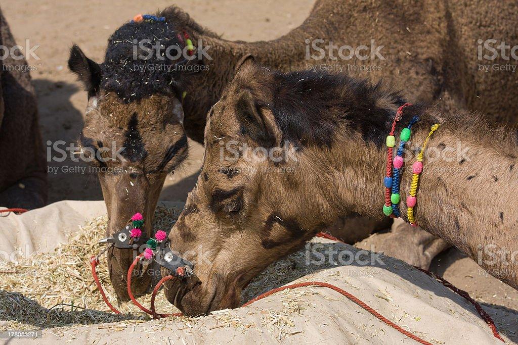 Camel at the Pushkar Fair , Rajasthan, India royalty-free stock photo