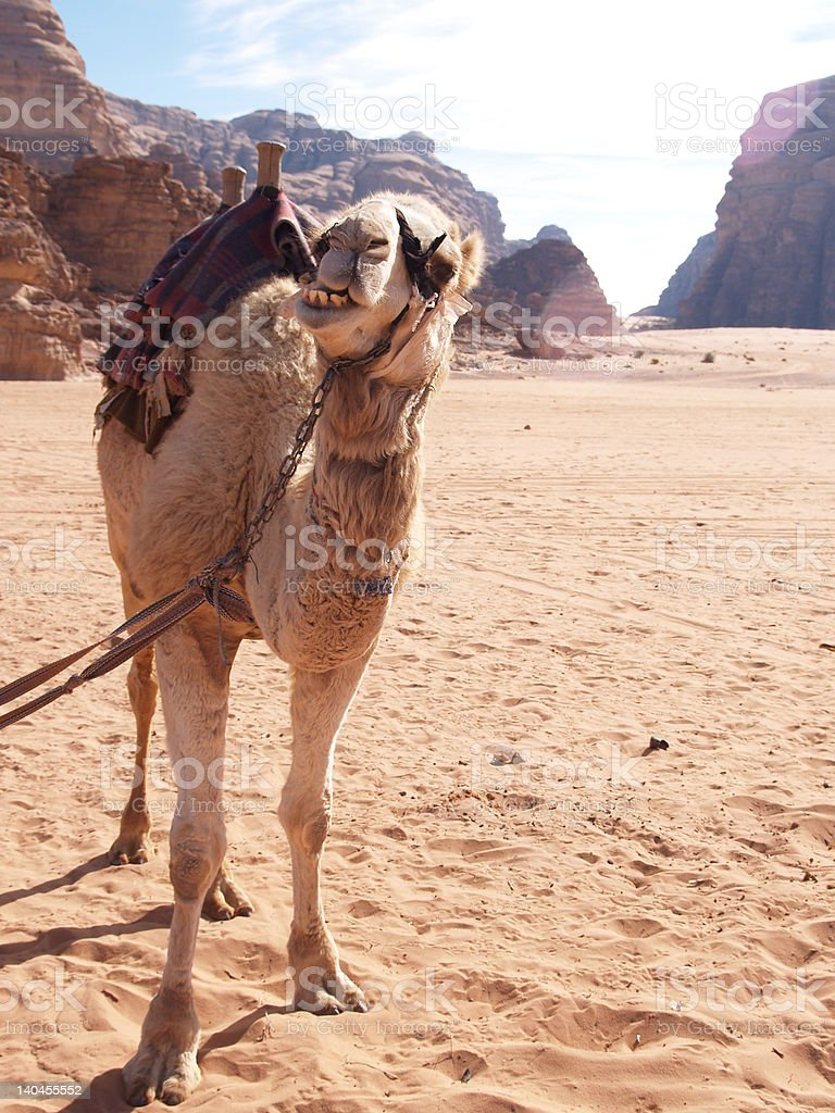 camel at Wadi Rum stock photo